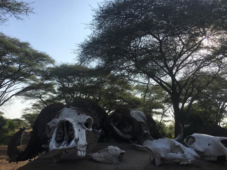 Buffalo skulls outside the Serengeti