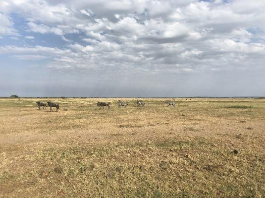 Wildebeest and Zebra run together
