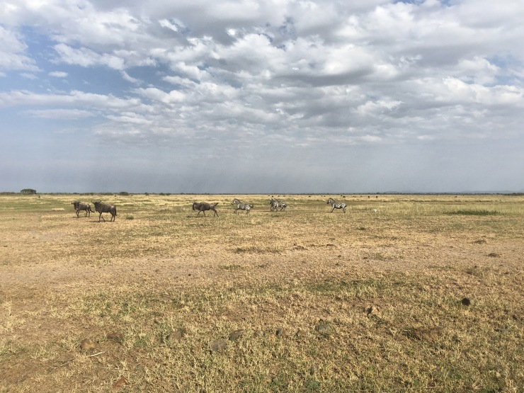 Wildebeest and Zebra run together