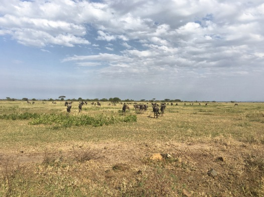 Herds in the Serengeti