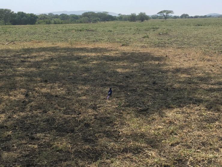 Tanzanian blue starling