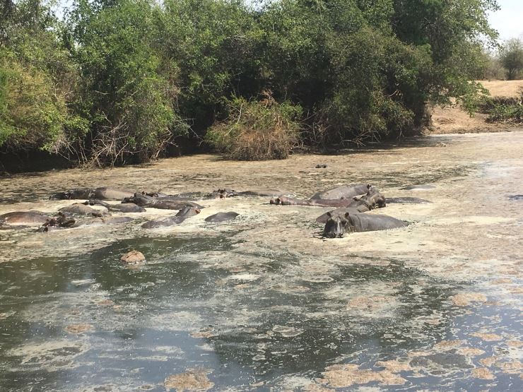 Huddled Hippos
